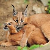 caracal-kittens-jpg-adapt-945-1