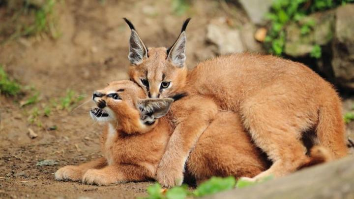 caracal-kittens.jpg.adapt.945.1.jpg
