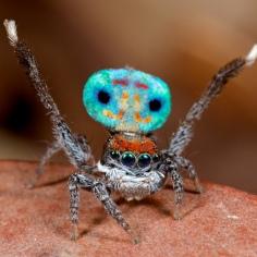 Altro esemplare fantastico. I suoi colori e il suo disegno sono magnifici. Mentre danza, questo esemplare offre uno spettacolo incredibile.