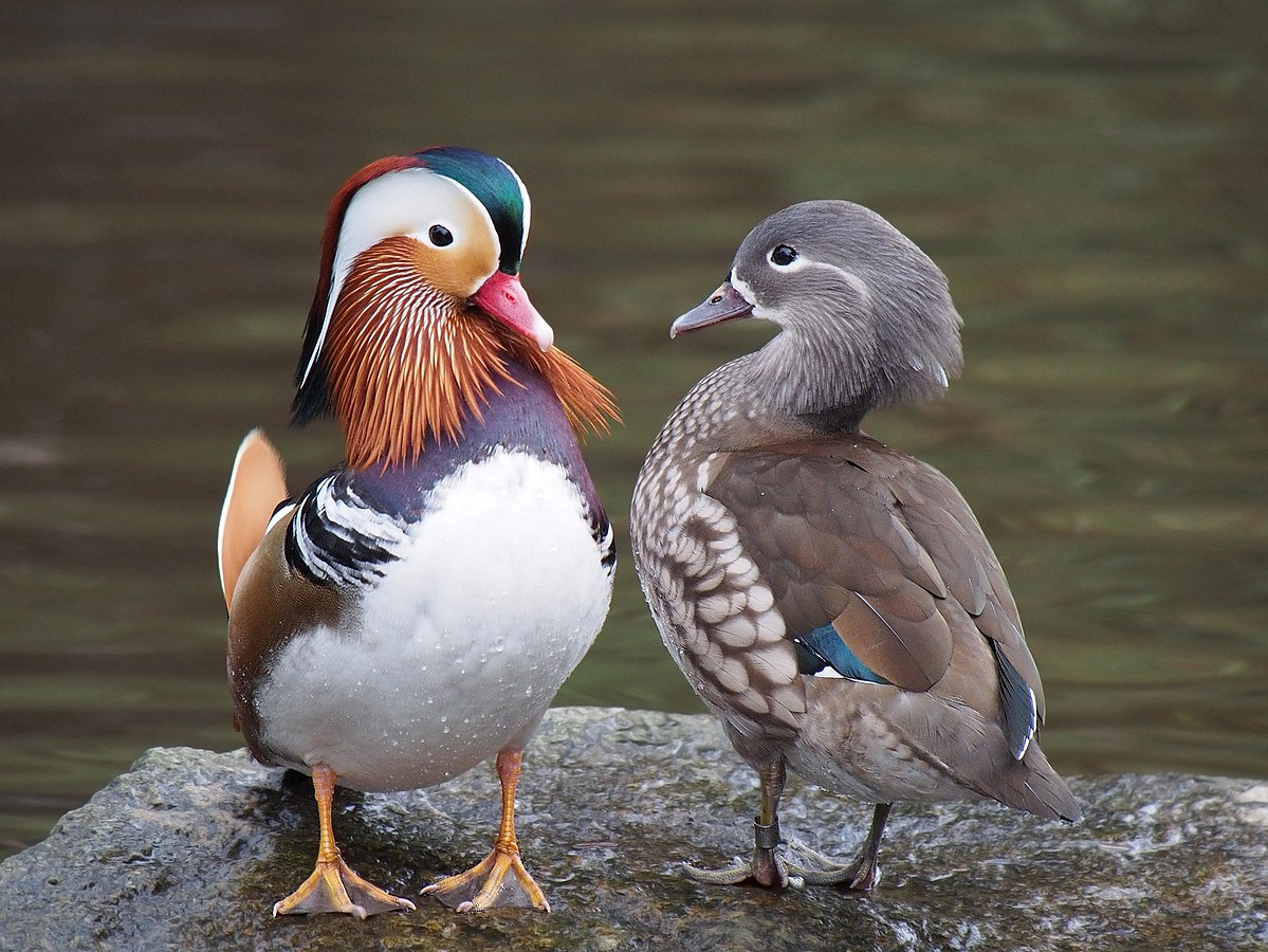 1200px-Pair_of_mandarin_ducks