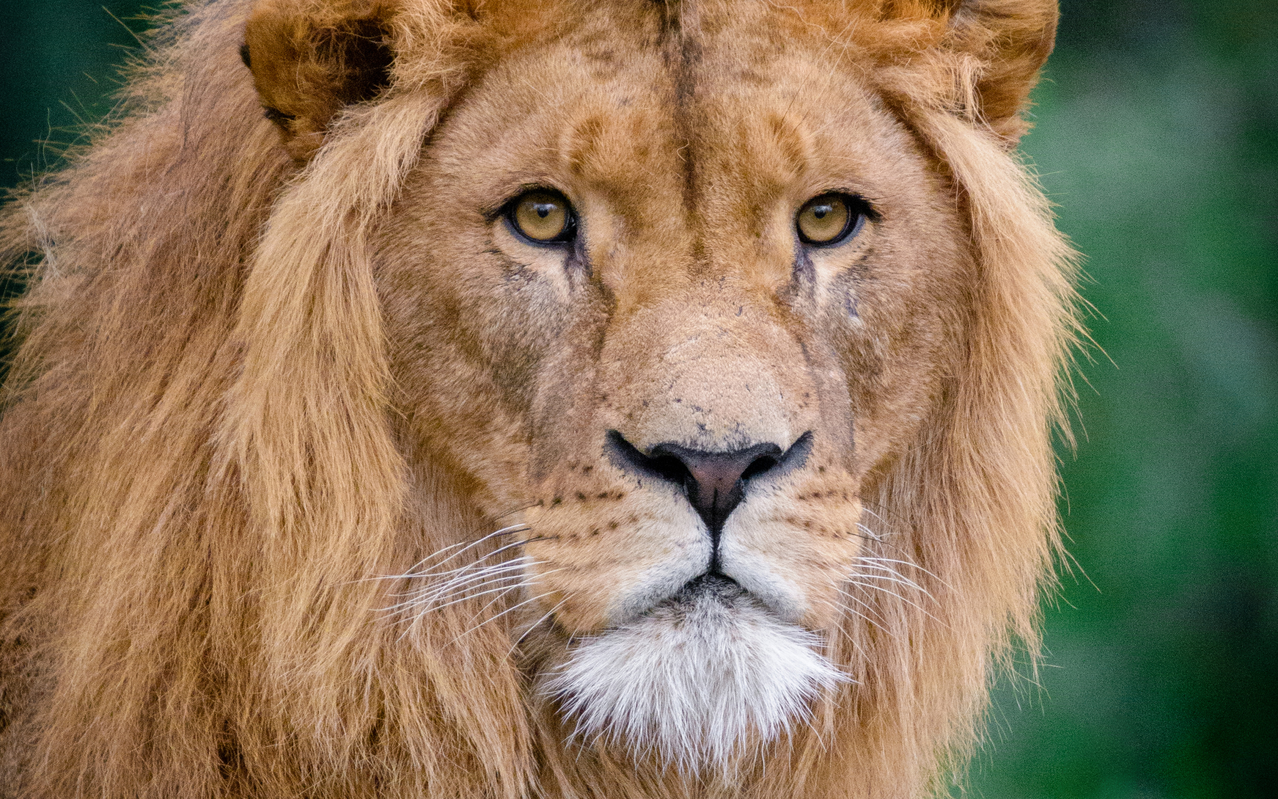 lion-muzzle-predators-king-of-beasts-wildlife.jpg